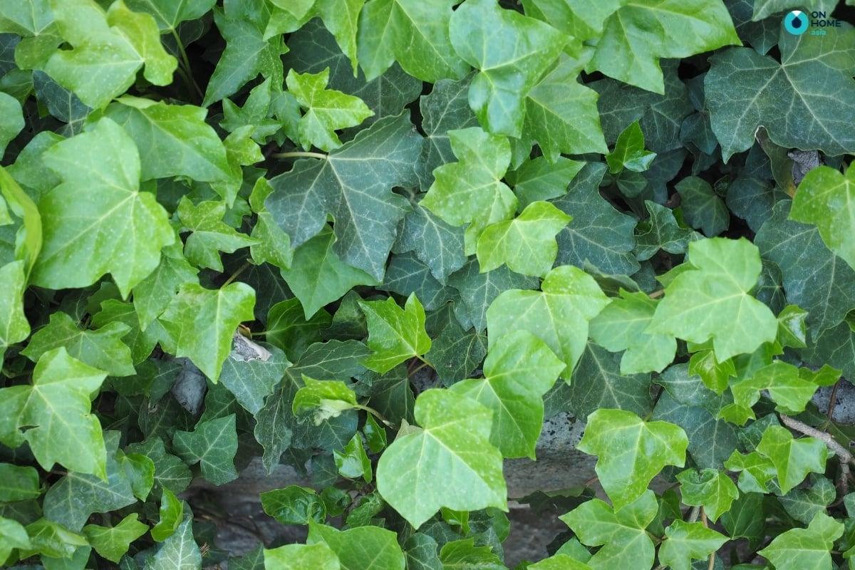 lá cây thường xuân