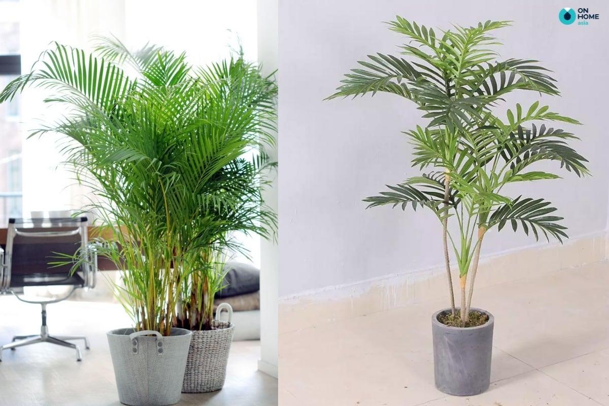 cây dừa cảnh hấp thụ các chất độc hại