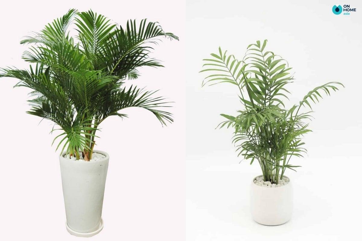 cây dừa kiểng